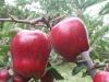 sweet apple HUANIU