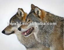Real lenticular 3d picture of wolf