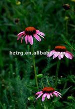 echinacea purpurea extract in bulk