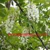 95% Rutin,Sophora japonica Extract