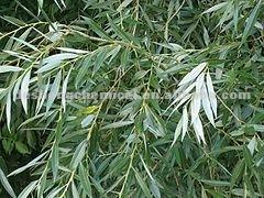 salicin/white willow bark 10%~80%