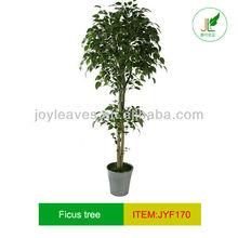 fashionable ficus tree,new ficus tree of 2012