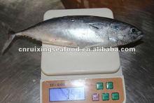 BQF frozen whole skipjack tuna