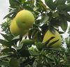 2015 new crop fresh fruit honey pomelo fruit
