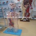 vendas quentes transparente humano corpo anatomia modelo com órgãos internos transparente tronco