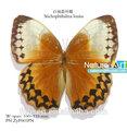 Fousen naturaleza y arte Stichophthalma louisa sin montar seca de insectos