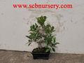 ficus bonsái planta de vivero proveedor