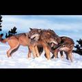 La chine fabricant d'impression 3dimage de loup