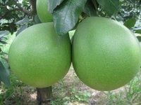 Citrus fruit fresh honey pomelo