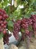 2015 new season red grapes manufacturer xinjiang