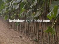 Paulownia Tomentosa sapling for planting