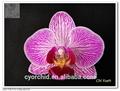 las orquídeas phalaenopsis planta