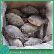 Best Frozen Tilapia Fish Whole Round
