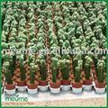 Pet mini cactus bonsai( enxertadas cacto)