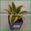 Folhagem ornamentais plantas da casa( sansevieria ouro hahnii)