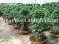 Ficus bonsai( bonsai árvore)