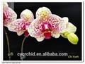 doble grande pico amarillento con mancha de color rojo de flores de orquídeas phalaenopsis de plantas de vivero
