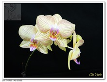 Orange Stripe Flower Multi-Colored Beautiful Indoor plant Phalaenopsis Living Orchids Seeds Wholesaler