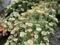 Top qualidade xanthoparmelia scabrosa extrato, líquen natural extrato/o ácido úsnico/usninic de ácido