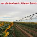 2014 nueva cosecha de semillas de girasol 5009