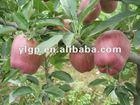 washington red apples 2012