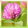 Red Clover Extract ( Trifolium pratense ) Isoflavones 40% HPLC