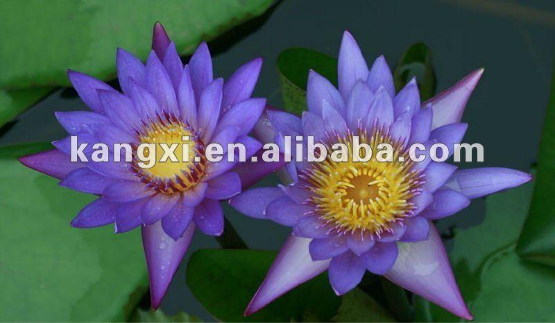 100:1 natural extracto de flor de loto para la venta