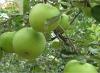 Fresh fruit green apple