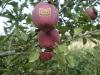 fruit names huaniu apple