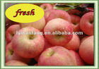 2012 new crop fresh apple with ISO GLOBAL GAP HACCP