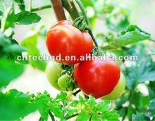 Best Size 2-4cm Green Cherry Tomato