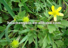 ISO&Kosher 1%-4% Alkaloids Ranunculus Ternatus Thunb Extract
