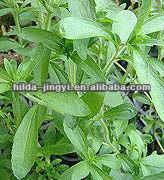 Organic Stevia,Stevia Extract
