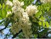 Sophora japonica extract Troxerutin CAS No.: 7085-55-4