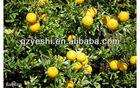 fresh mandarin orange navel orange