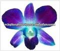 D-014: dendrobium teñidos de azul de orquídeas