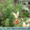 Extracto de rhodiola rosea rosavins 1%