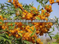 High quality with competitive price Seabuckthorn Oil