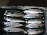 best quality frozen fish (frozen mackerel) 400-600g from ningbo