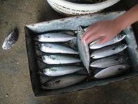 frozen mackerel fillets -atlantic mackerel scomber scombrus