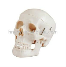 Skull model(Natural)/ human skull model in office&school