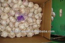 2013 crop red garlic