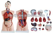 85cm male torso model/ sexes torso model/ female torso model