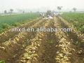 La récolte de pommes de terre fraîches 2013 d'importation et d'exportation( bio, gap, 25x13mm)
