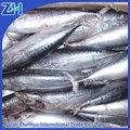 bonito congelado entero ronda de pescado para la venta