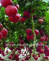 ZY-DY Hybrid Tomato Seeds