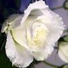 kunming flower of white rose flower for export