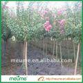indica lagerstromia jardinería al aire libre las plantas de vivero de árboles