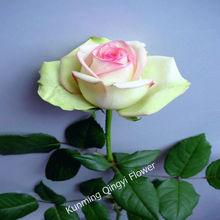 Fresh cut rose flowers Big Bloom China rose
