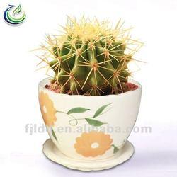 Succulent Ball Cactus